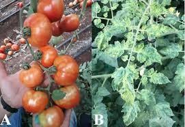 Virusul ToBRFV: Ce trebuie să știe cultivatorii
