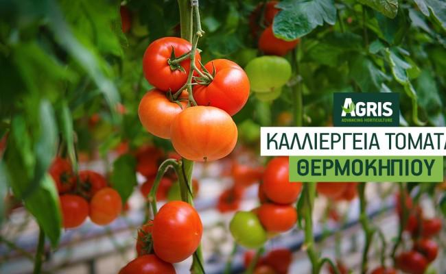 Καλλιέργεια θερμοκηπιακής τομάτας: Από την ωρίμανση στη συγκομιδή
