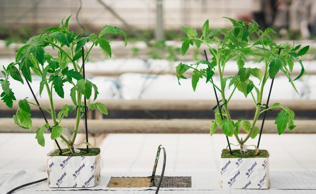 Νέα πειραματική φύτευση τομάτας στην υδροπονία
