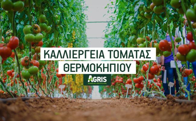 Καλλιέργεια τομάτας θερμοκηπίου: Επιλέγοντας πολλαπλασιαστικό υλικό