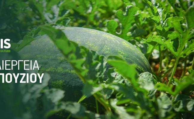 Καλλιεργητικές φροντίδες καρπουζιού υπό κάλυψη